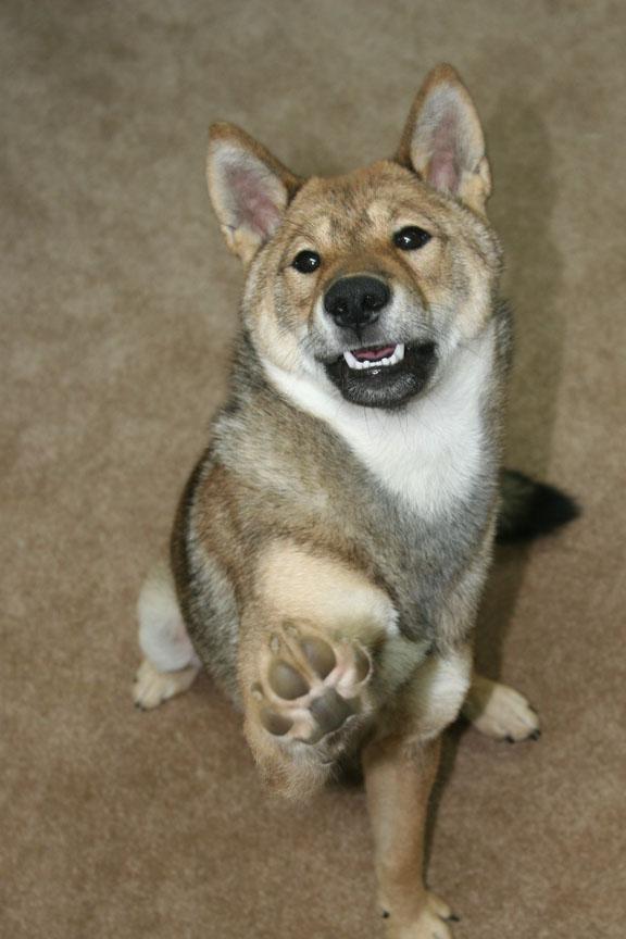 Shikoku dog sitting and holding up its paw