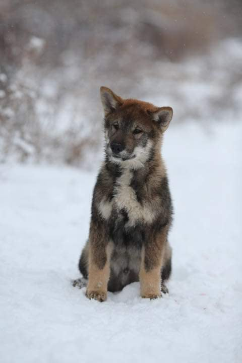 black sesame male puppy sitting in snow with his head tilted