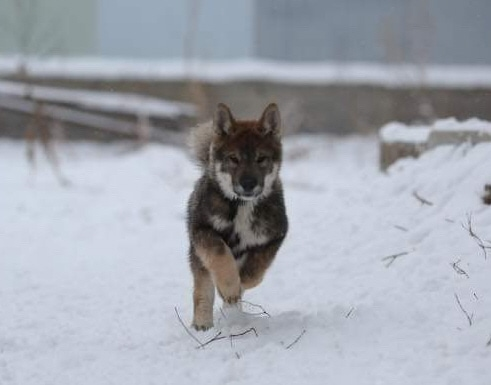 a black sesame puppy in full stride running towards the camera on a snowy day
