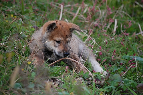 shikoku puppy lying in a field surrounded by small wild flowers