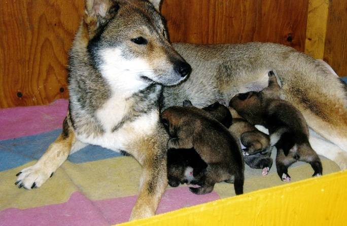 Shikoku mother suckling her 2 day old puppies