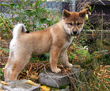 a shikoku puppy standing on a concrete step in a garden