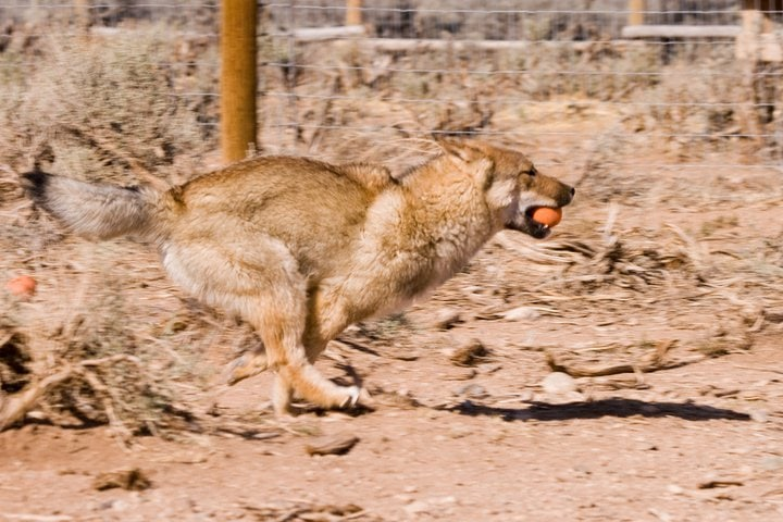 a shikoku running in a field with an orange ball in his mouth