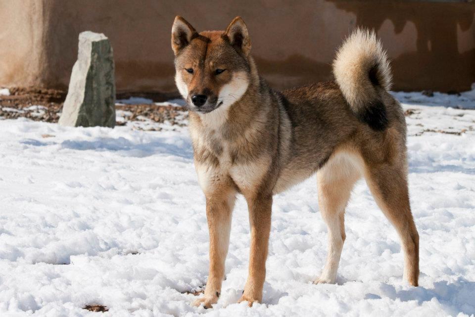 sesame shikoku standing in snow