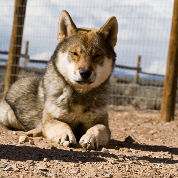 adult shikoku lying on the ground with his eyes half closed as he falls asleep