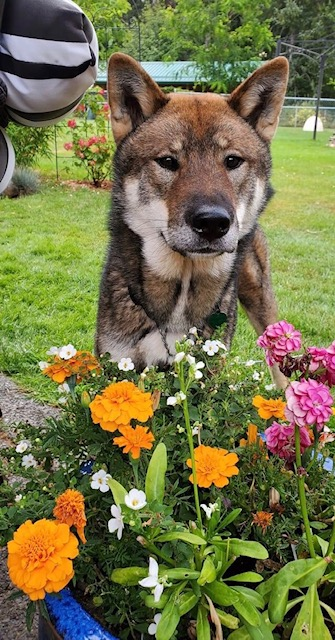 male shikoku sitting in a garden with a flower bed containing coloured flowers in front