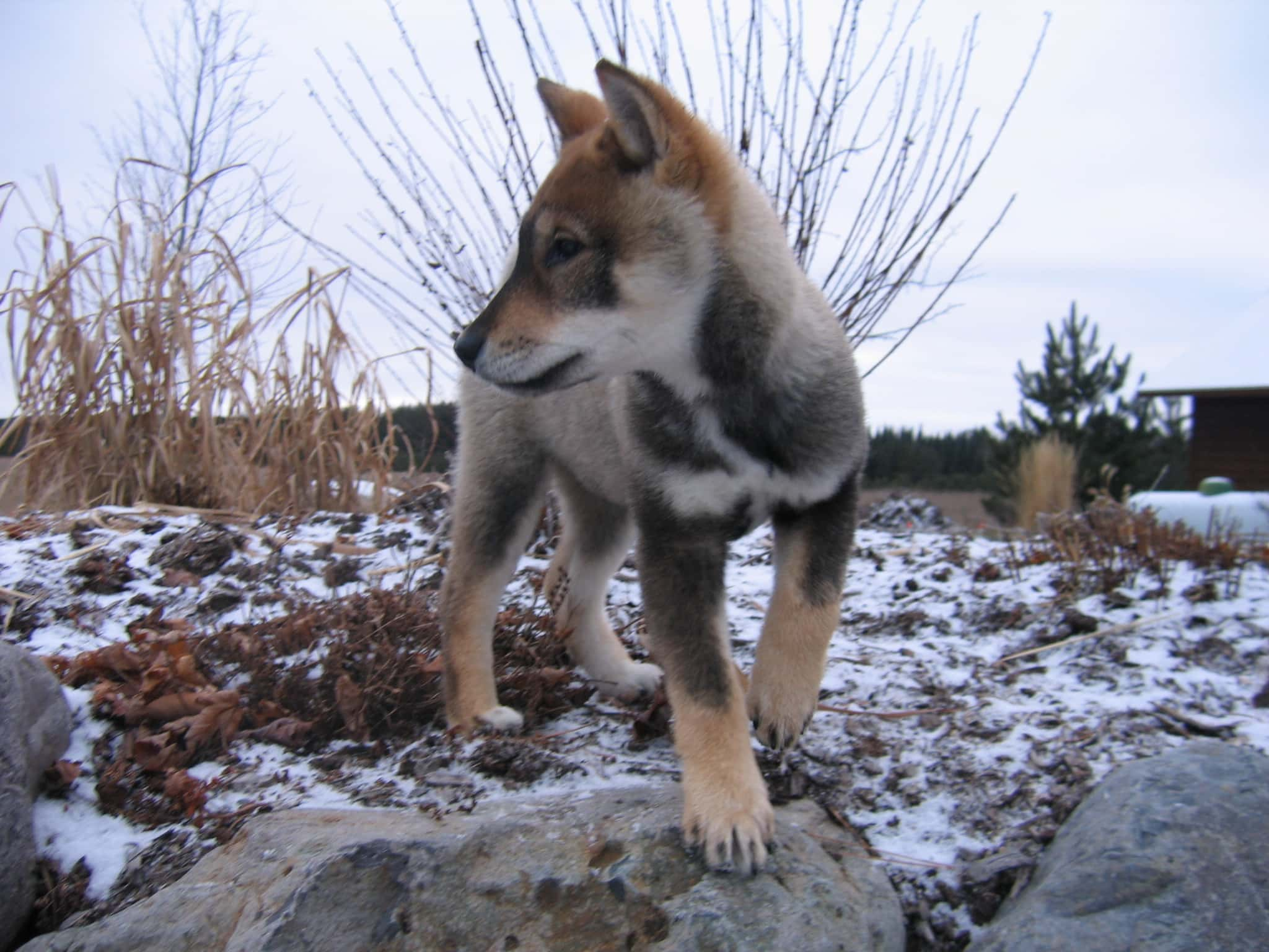 shikoku puppy standing on a rock with snow and tall grass and shrubs