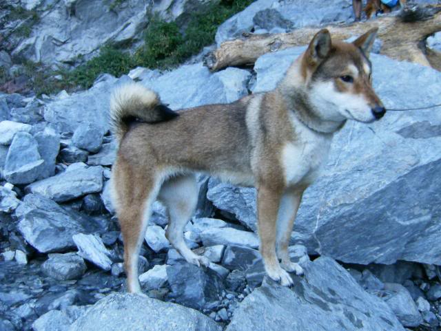 red sesame female shikoku standing on rocky ground