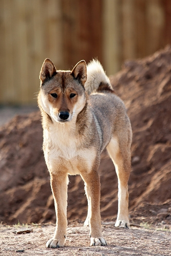 sesame female shikoku standing in front of a pile of dirt