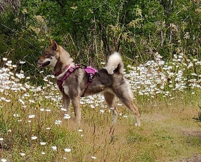 female shikoku standing in a field of daisies wearing a pink halter