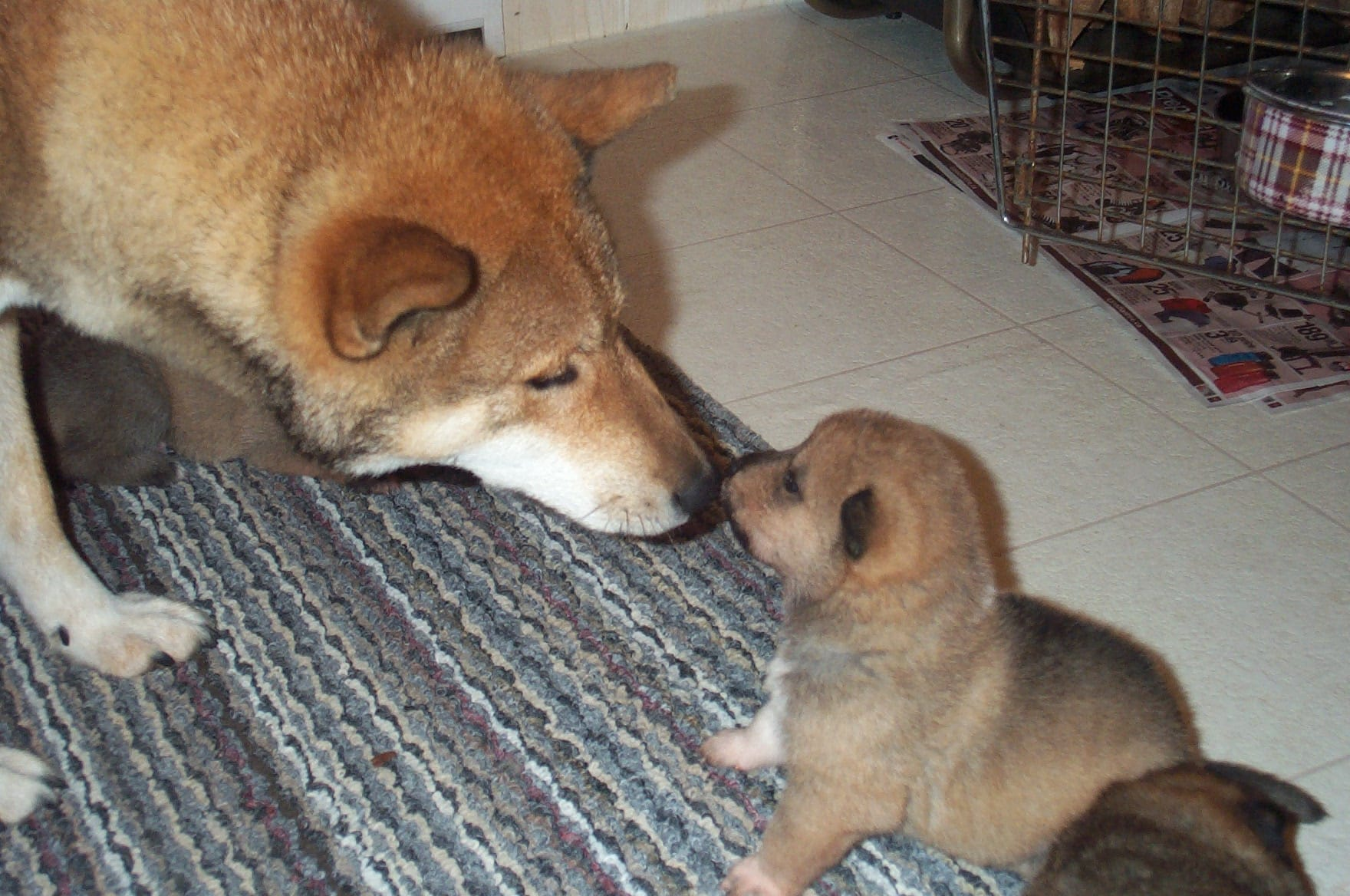 a shikoku female nose to nose with her little puppy
