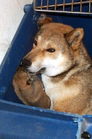 female shikoku sitting in a blue crate with her puppy