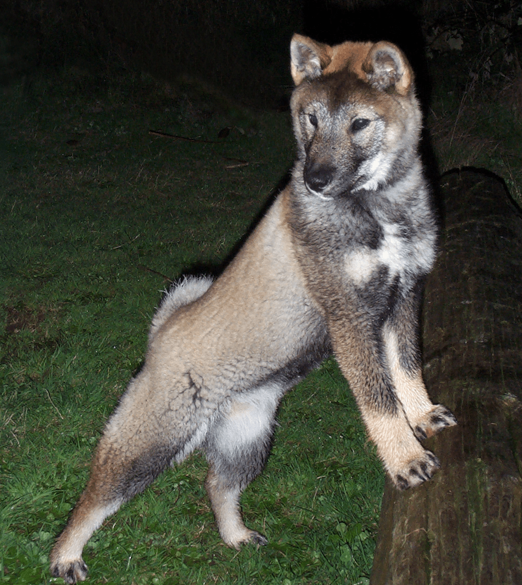 2 year old sesame coloured female shikoku standing with her front paws on a log