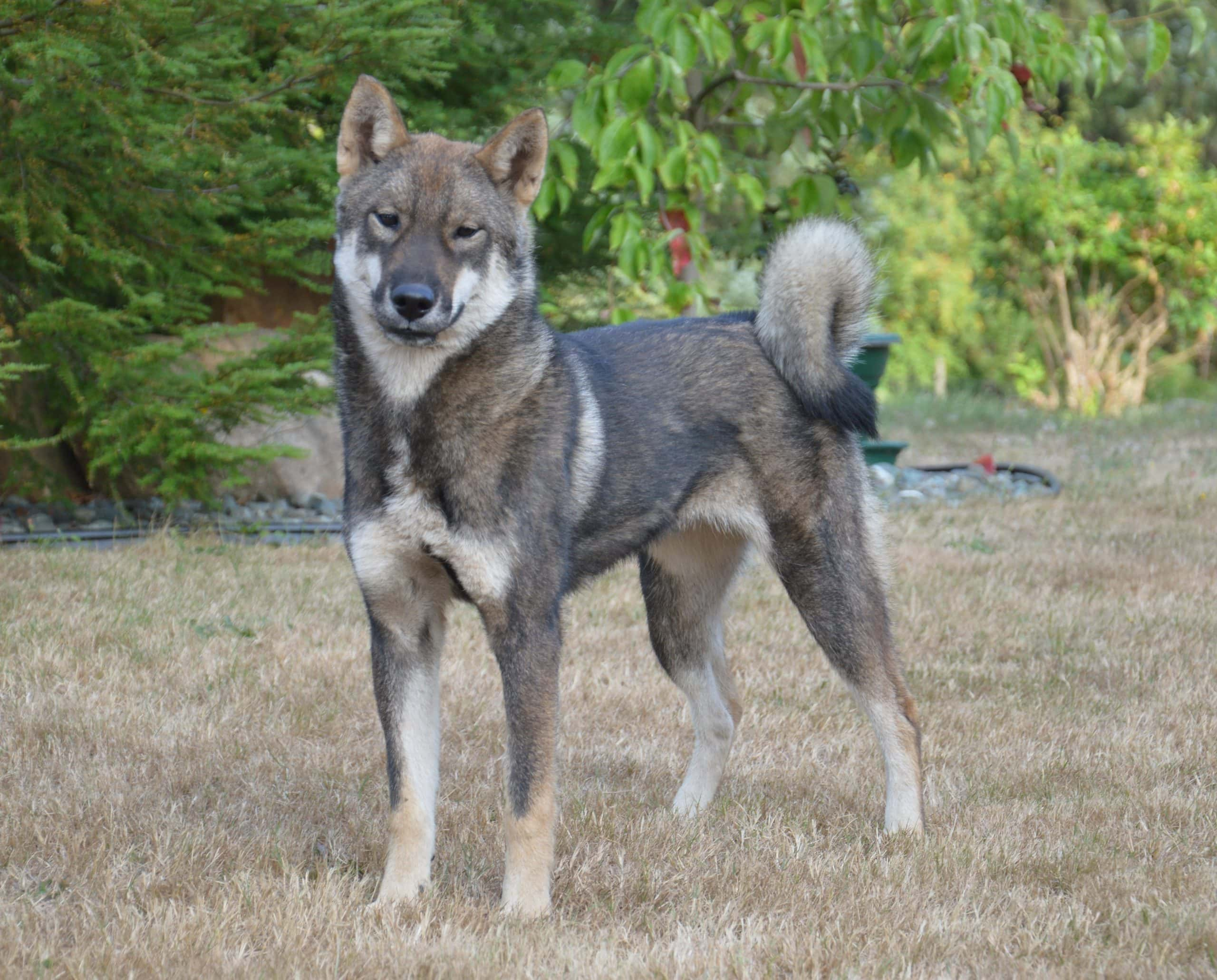 a 9 month old black sesame female shikoku standing by some trees