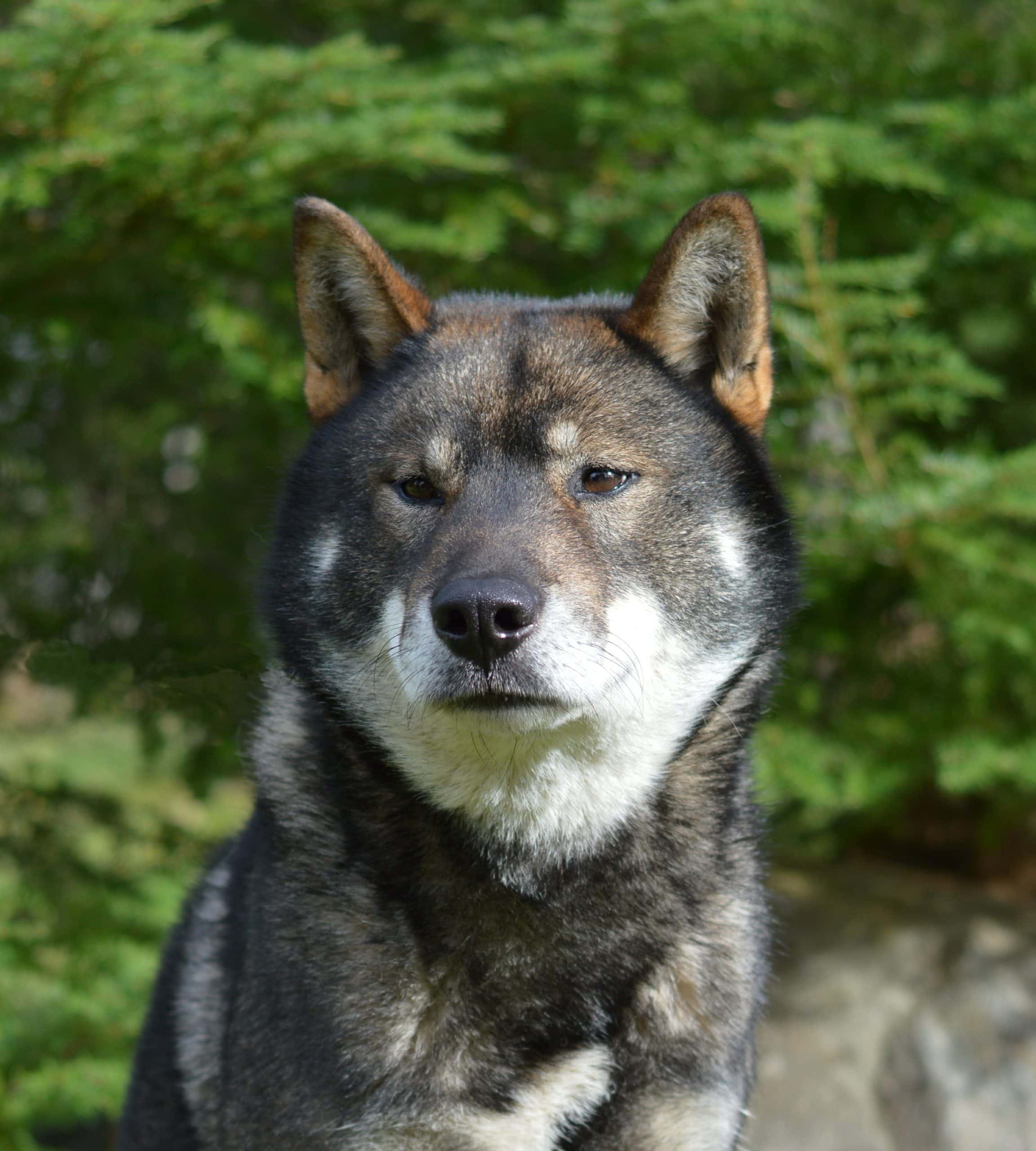black sesame male shikoku head only looking at the camera