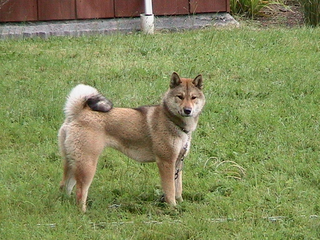 1.5 year old sesame shikoku female standing on a lawn