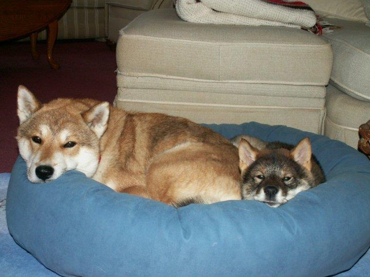 a sesame female shikoku lying in a blue dog bed with a black sesame shikoku puppy