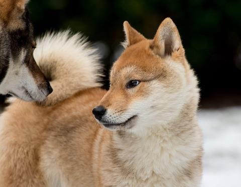 a red sesame shikoku puppy looking at an other shikoku