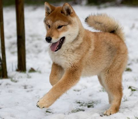 a happy red sesame shikoku puppy in snow