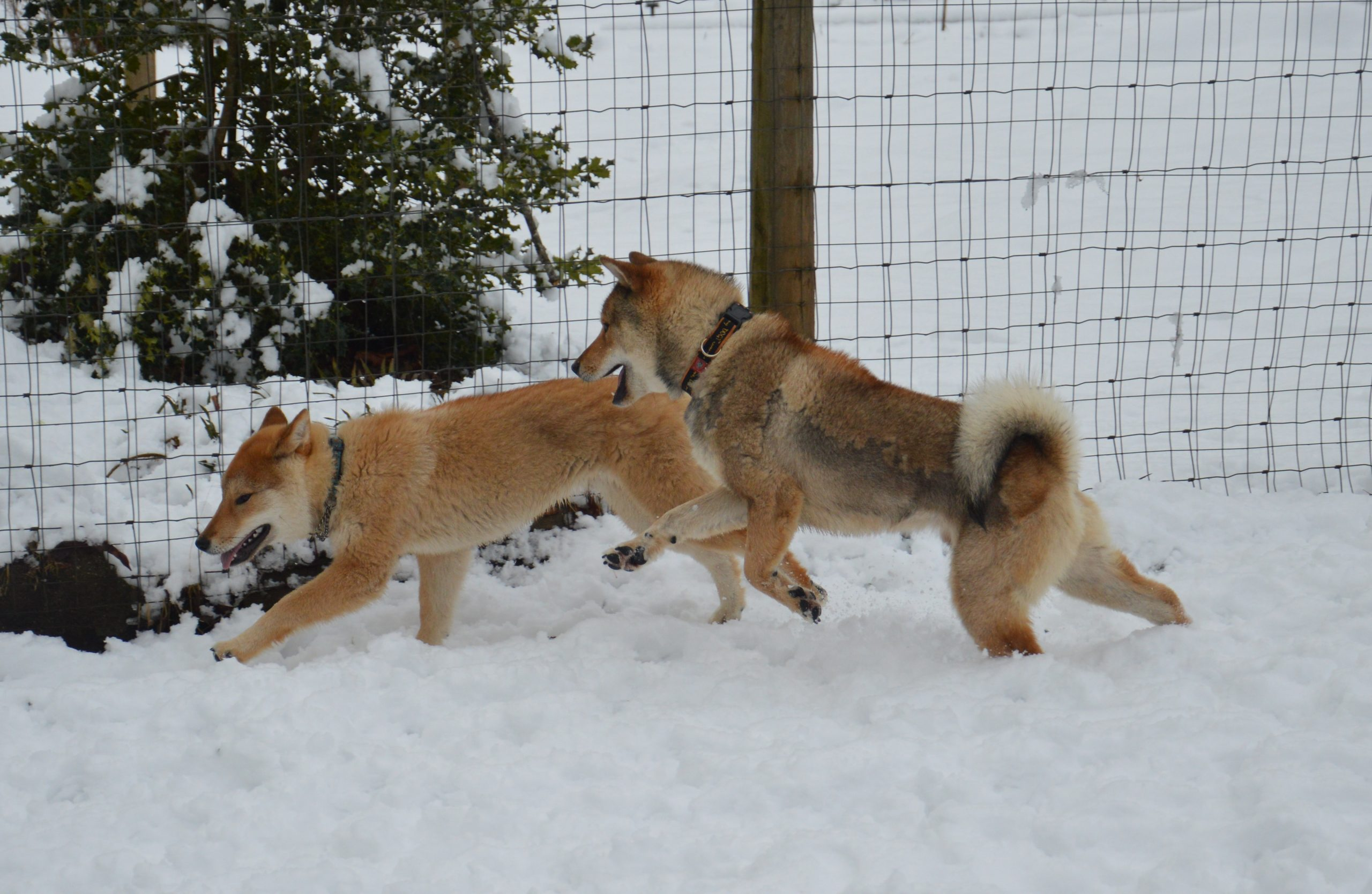 two shikoku males playing in the snow