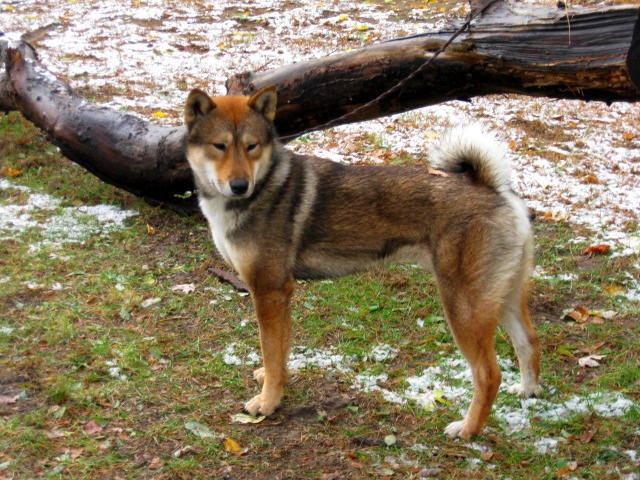 adult red sesame male shikoku standing in front of a log