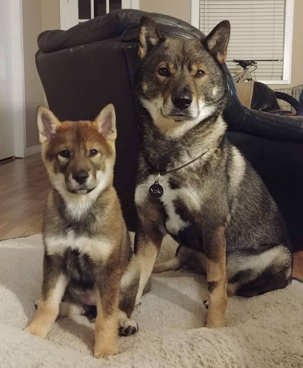 adult male shikoku sitting next to a 12 week old female shikoku puppy