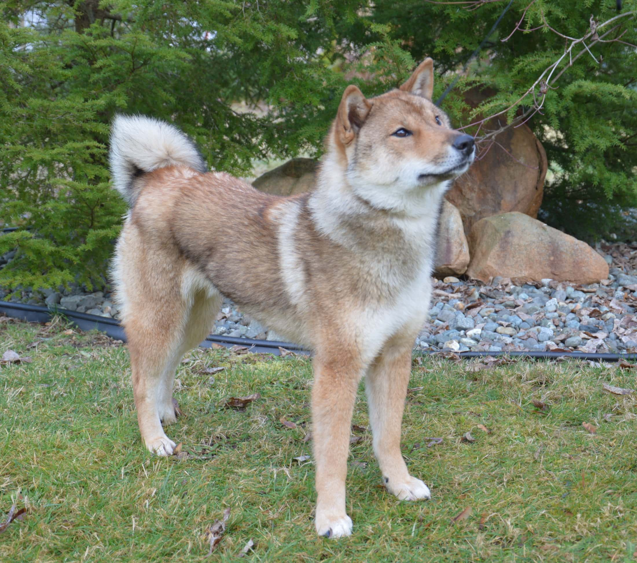 red sesame male shikoku standing on a lawn in front of trees