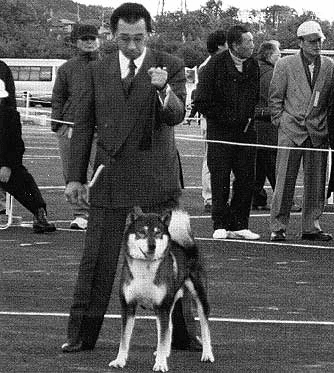 a man showing a Shikoku in the Show ring