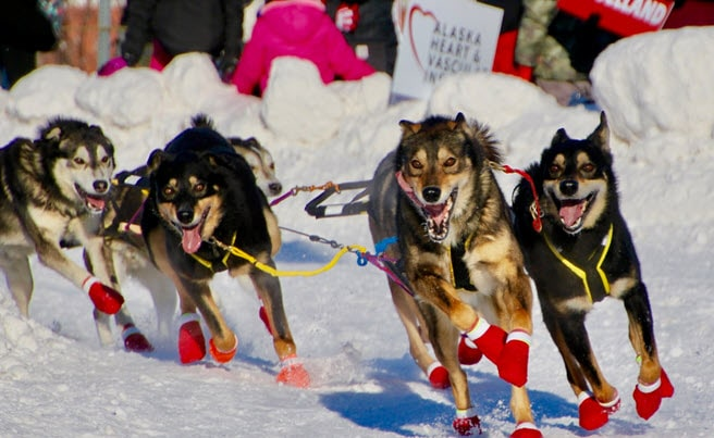 5 sled dogs in harness running towards the camera